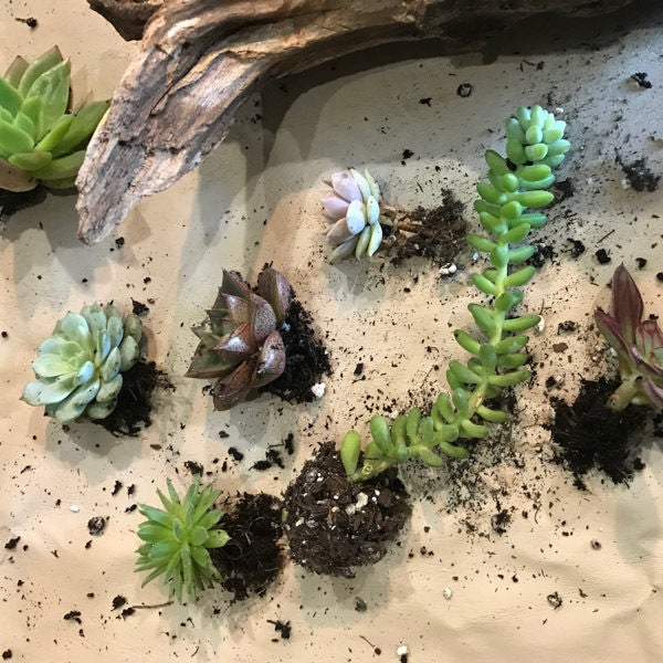 Picture of Prep the Succulents for Planting in the Cedar Driftwood Planter: