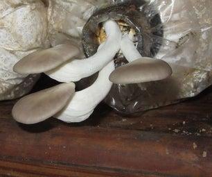 低技术牡蛎蘑菇文化