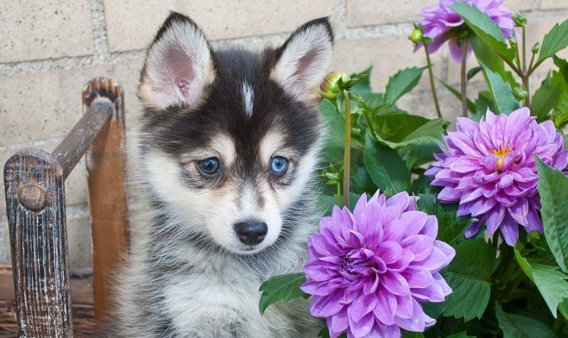 Picture of Pomsky Puppy