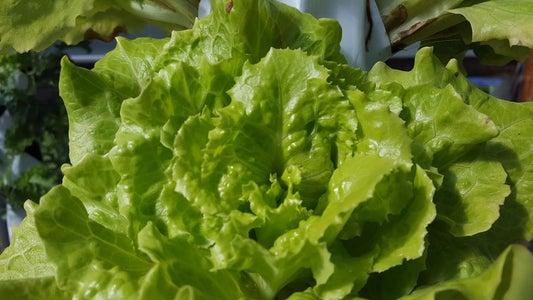 Lettuce Grown in the GrowMesh Sleeve