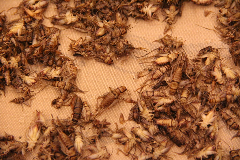 Picture of Drying Crickets
