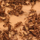 Step 3: Drying Crickets