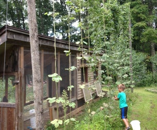 Growing Hops at Home