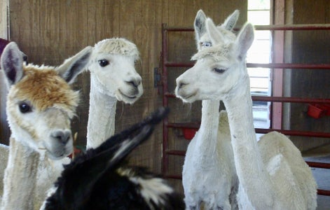A Little About Alpacas