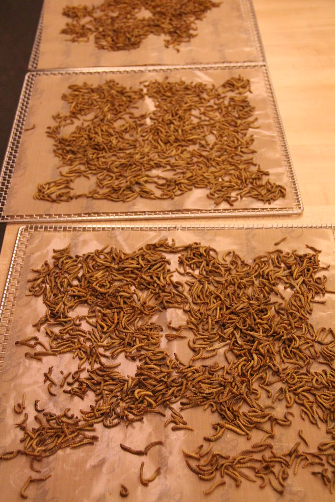 Picture of Drying Mealworms