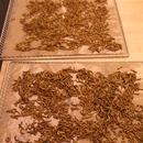 Drying Mealworms