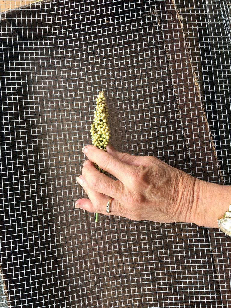 Picture of Popped Sorghum