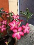 Save Desert Rose Seeds
