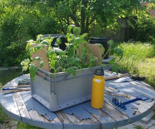 死Tomaten Umpflanzen