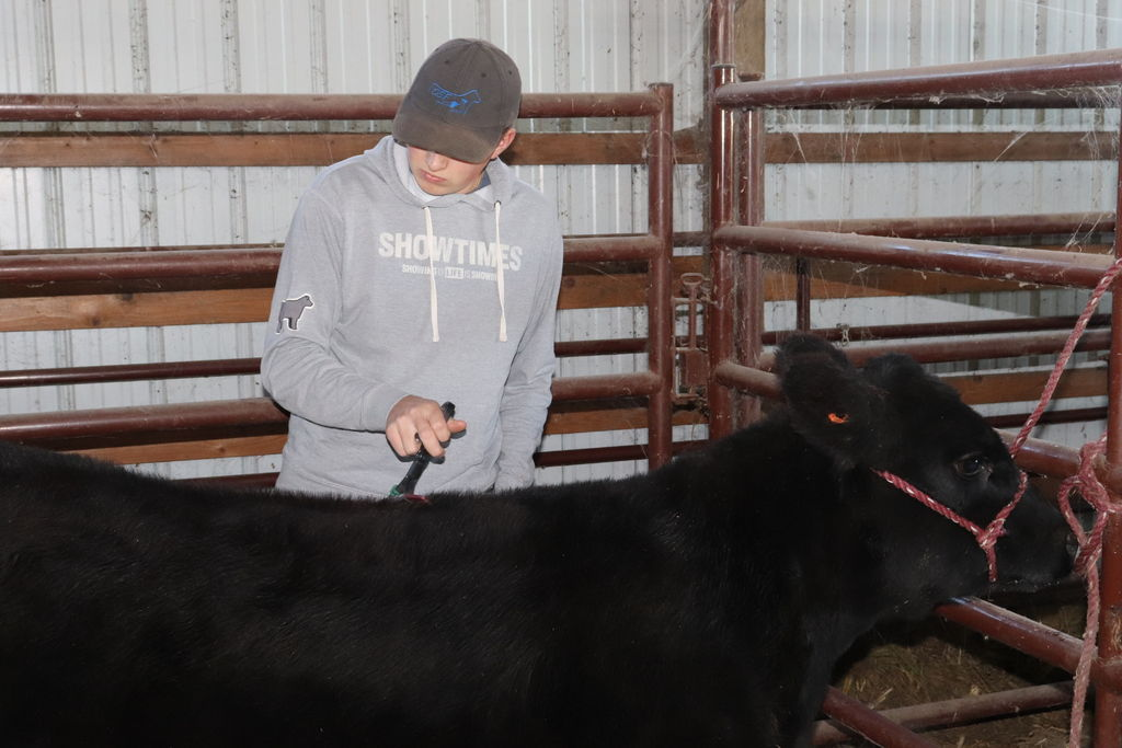Picture of How to Halter Break a Calf
