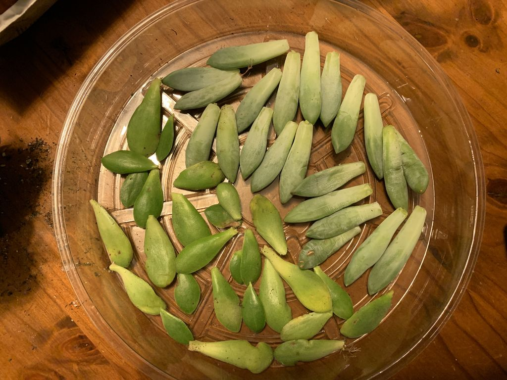Picture of Leaf Cuttings