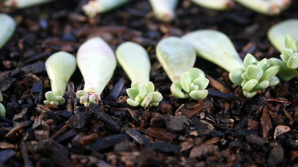 Picture of A Great Way to Propagate Your Succulents!