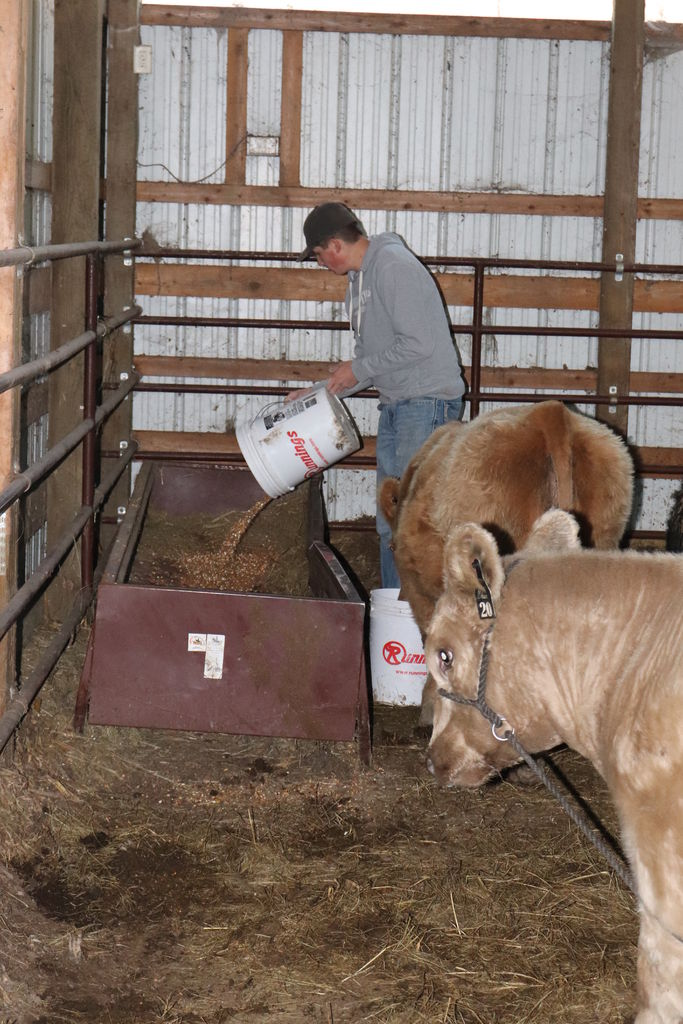 Picture of Taming the Calf