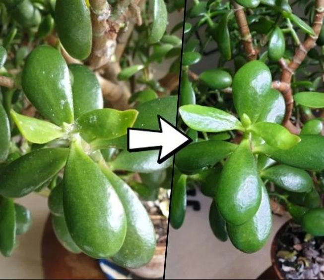 Picture of How to Kill Fluffy White Mould on Plants