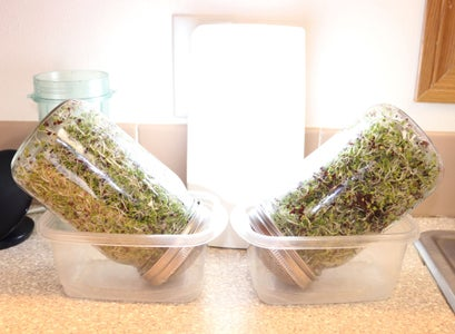 Final Days of Growth - Finishing Up the Broccoli Sprouting Process