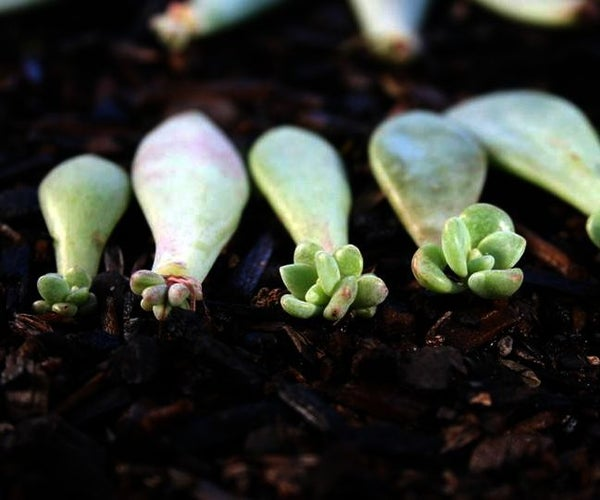 A Great Way to Propagate Your Succulents!