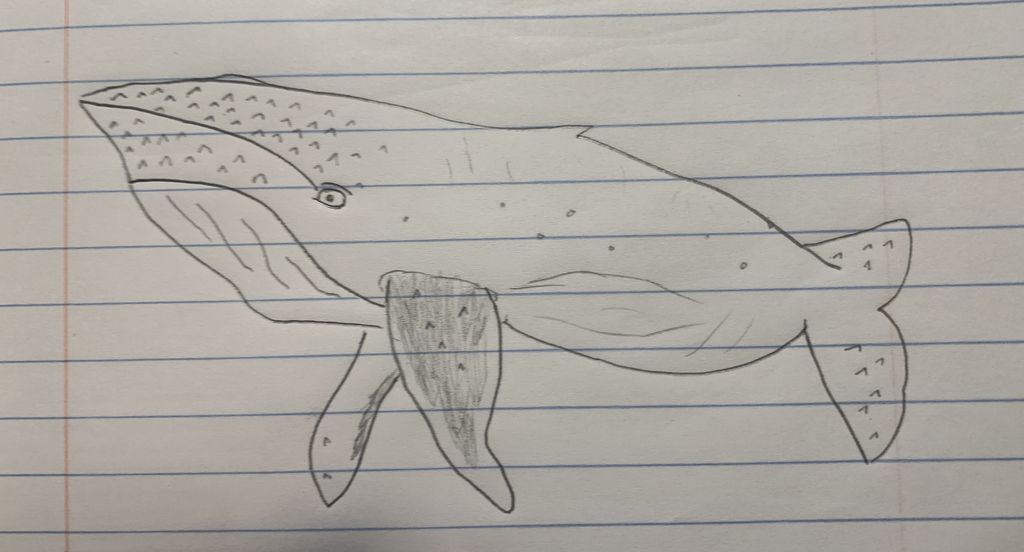 Picture of Sketching the Humpback Whale