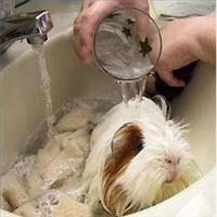Soak Your Guinea Pig