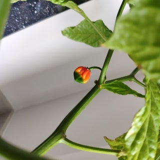 How to Grow Trinidad Moruga Scorpion Peppers
