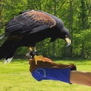 Falconry Glove - Functional Yet Fashionable