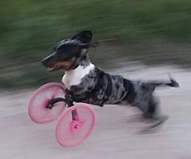 Small Front Leg Dog Wheelchair