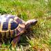 The clay Tortoise