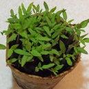 Transplanting your Tomato seedlings