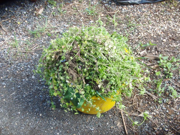 How to Turn Annoying Garden Weeds Turned Into Delicious Fresh Eggs