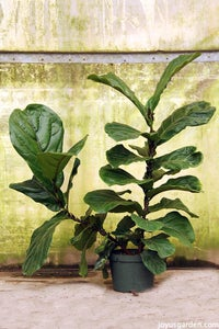How to Care for the Fabulous Fiddleleaf Fig