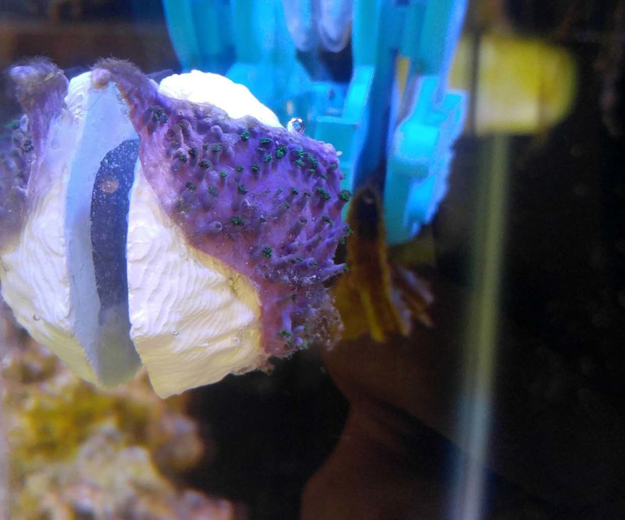 $5 DIY Magnetic Coral Frag Plug (mag-frag) for Reef Aquarium
