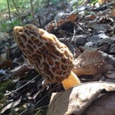 How To Spot And Identify Morel Mushrooms