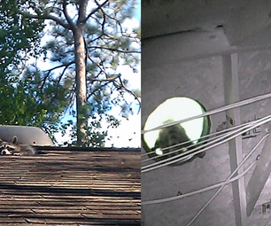How to Remove a Raccoon from your Attic - the Humane Way