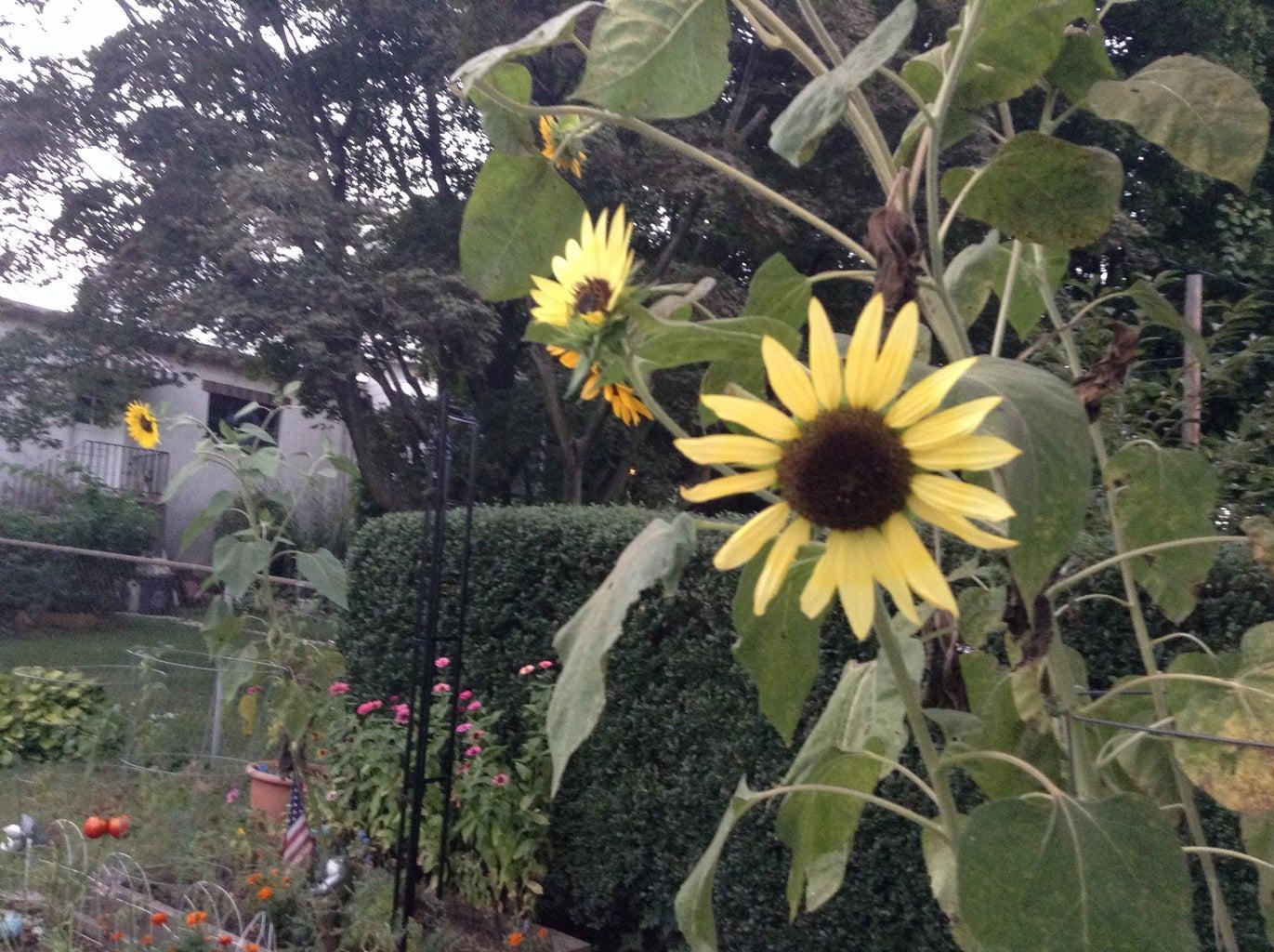 How to Harvest Ornamental Sunflower Seeds
