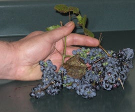 Sugarless Wild Grape Jelly