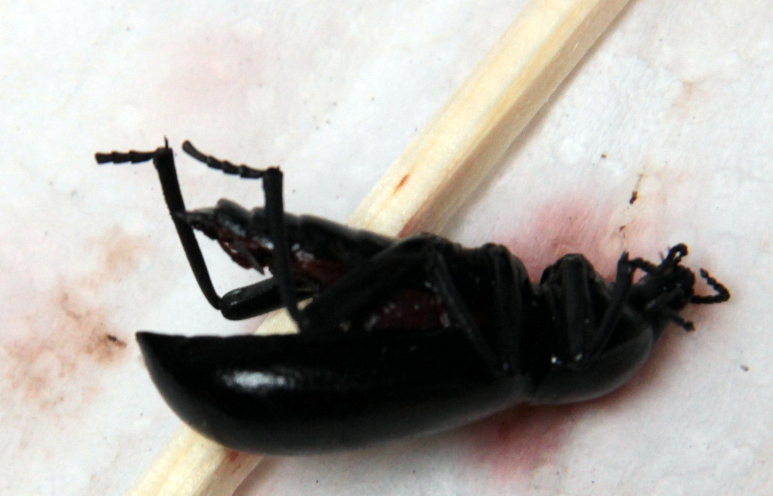Open Beetle