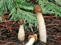 How to Identify a Real Morel From a False Morel