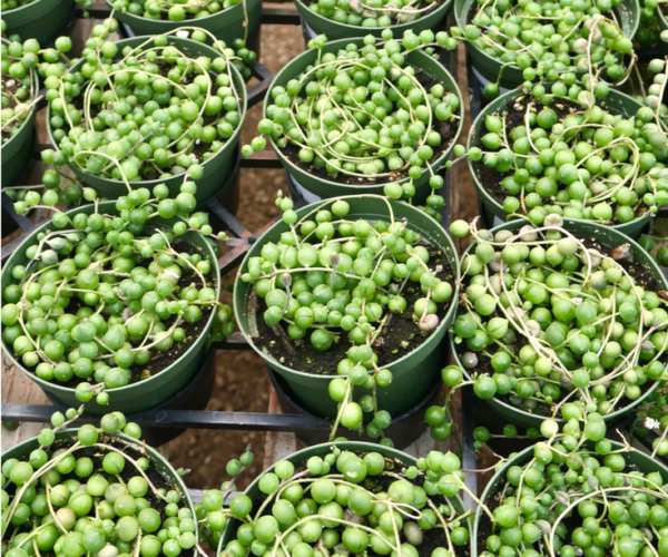 10 Reasons Why You May Be Having Problems Growing a String of Pearls Plant Indoors