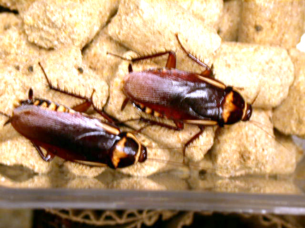 Raising Cockroaches (Intentionally)