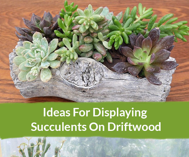 Ideas for Displaying Succulents on Driftwood