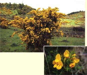 Remove Gorse(Ulex Europeans) With New Zealand Native Bush