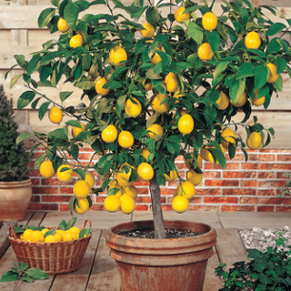 Propagation of Fruit Bearing Trees by Air-Layering