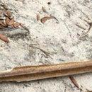 Palmetto Branch Sword