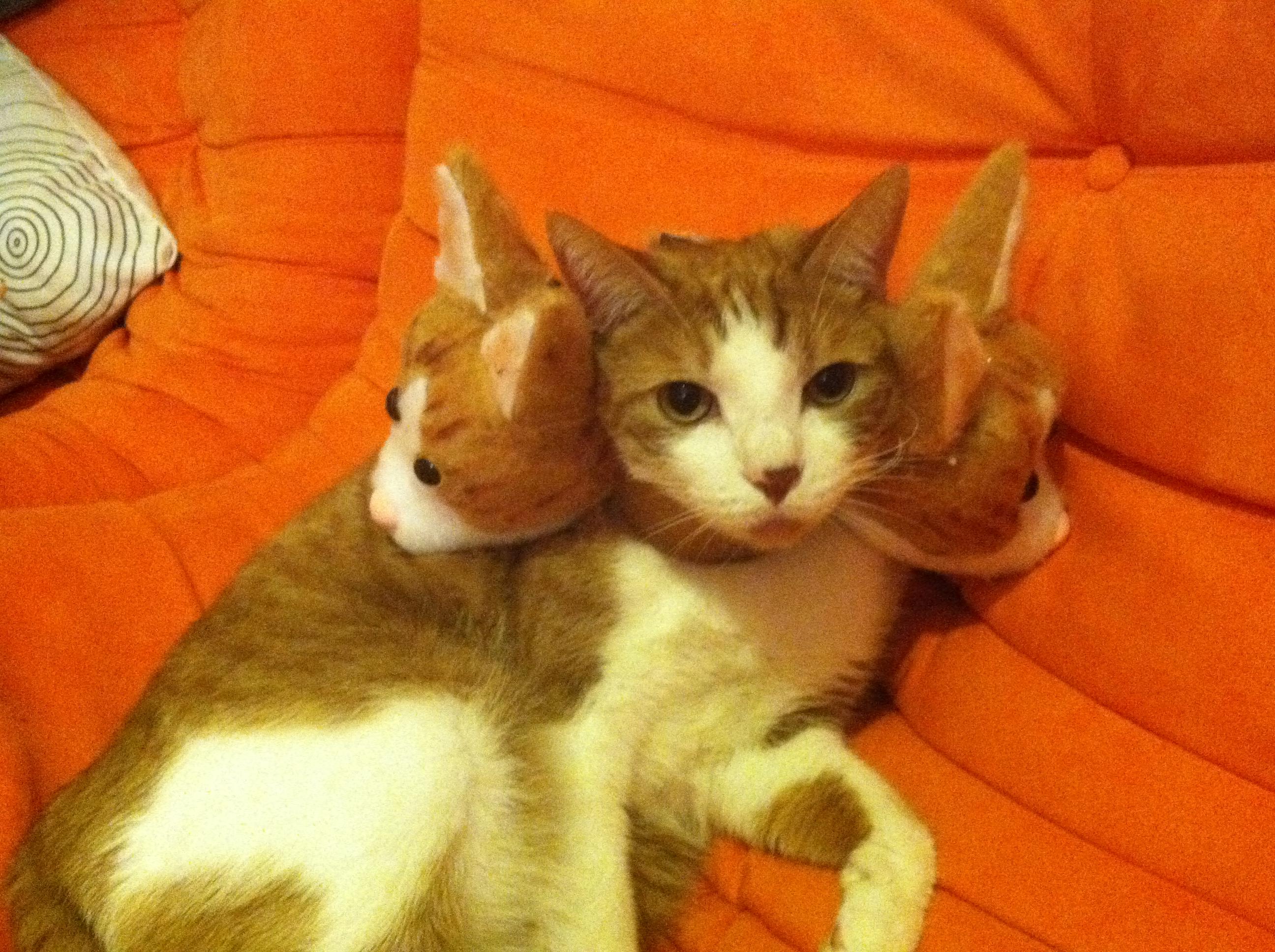 3 HEADED CAT