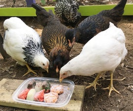 Frozen Treats for Backyard Chickens
