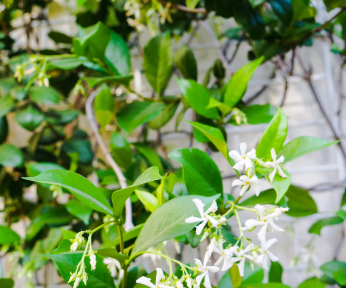 How to Prune a Star Jasmine That's Heat-Stressed and Sunburnt