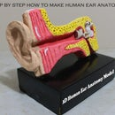 Step by Step How to Make 3d Human Ear Anatomy Model/Diagram