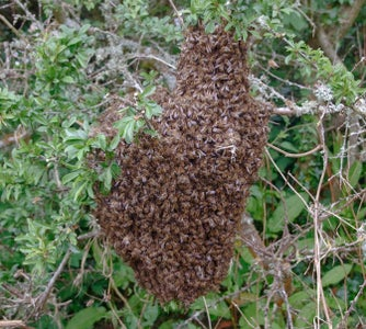 Why Catch Swarms or Sub Divide Colonies?