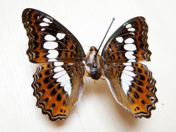 Catch a Cockerfly