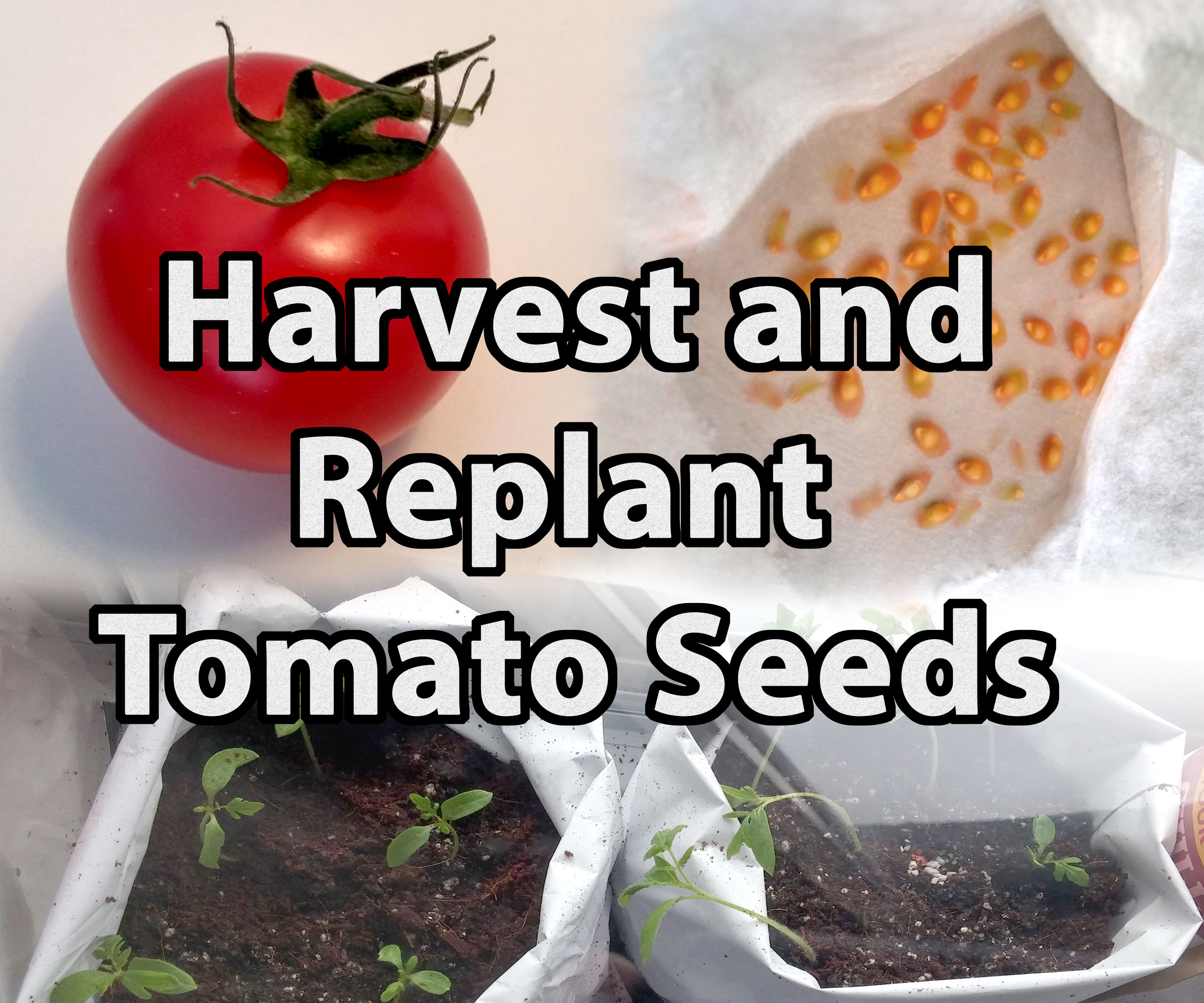 How to Harvest and Replant Tomato Seeds