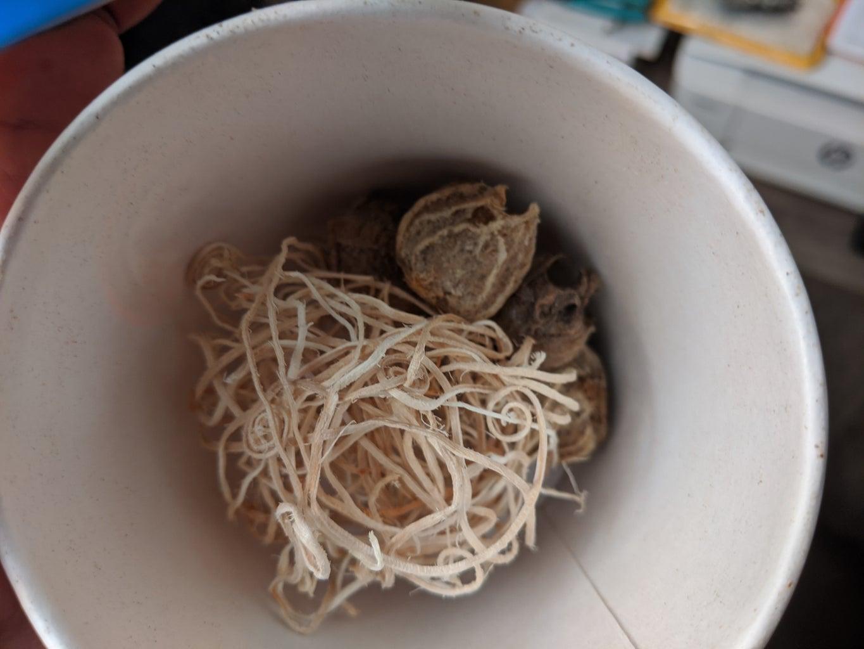 Hatching Mantis Eggs